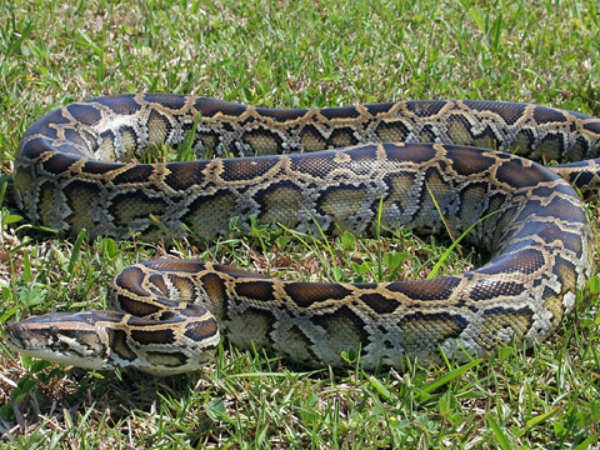 Snake Hunters From Tamil Nadu Recruited By US To Catch Pythons
