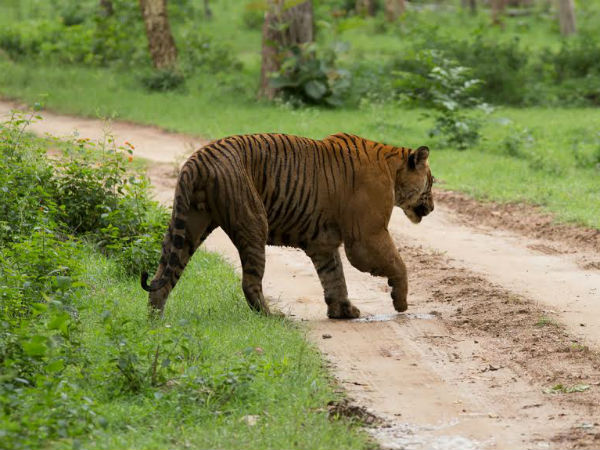 9 tiger cited in Nagarahole forest