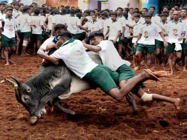 Jallikattu; Husband refuse his wife and going Tamilnadu in Bengaluru