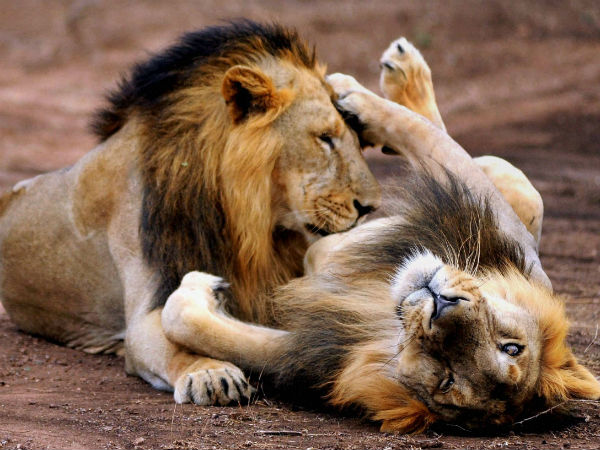 Interesting Facts About Indian Lions