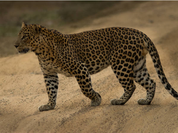 All You Should Know About Wonderful Wild Animal Leopard