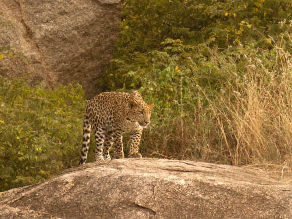 Two leopard appeared in historical city Hampi in Bellary District