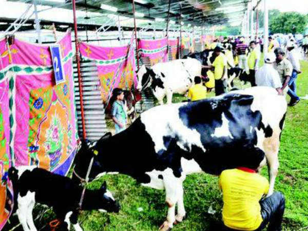 February 3 To 4 High Milking Contest Held In Jk Playground Mysuru