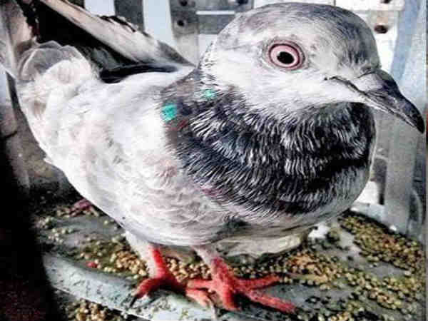 Caputred Spy pigeon escapes and flies towards Pakistan