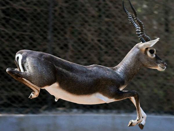 Madhugiri S Jayamangali Blackbuck Conservation Reserve Travel Information