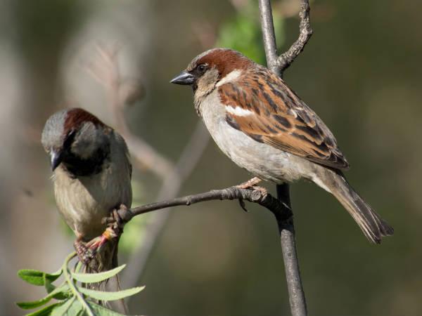 Sparrow The Little Legend