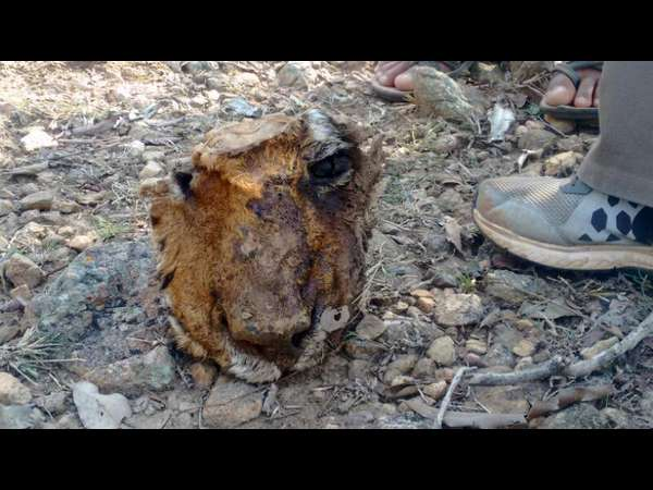 Prince face found, Bandipur Tiger's death controversy triggers again