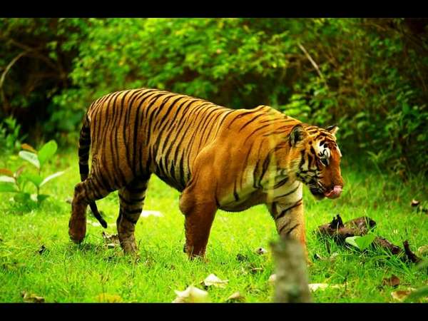Bandipur tiger Prince's snout sends to forensic lab
