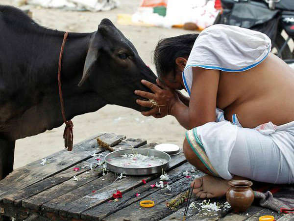 Rajasthan High court recommended to centre to 'make Cow the national animal'