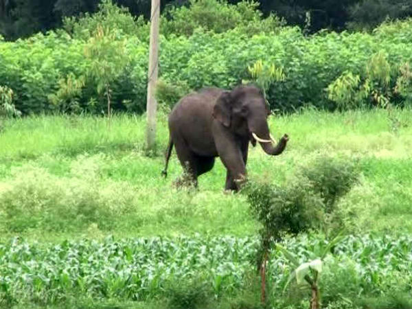 Unconscious Elephant Found In Retire Ias Officer Im Vittal Murthy Coffee Estate