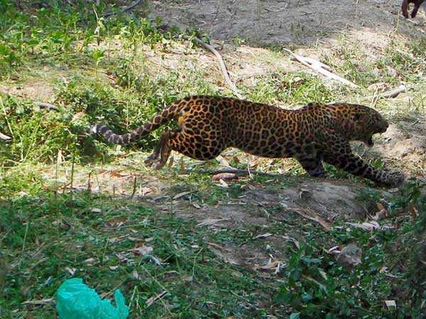 3 youths caught in cage while escaping from leopard