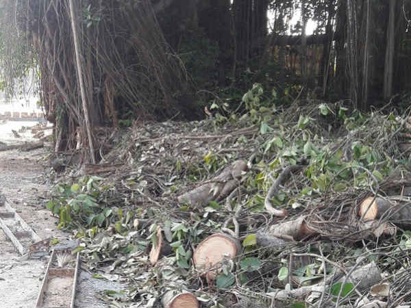 100 years old Banyan tree is cutting down for concrete roads at Yekkur in Mangaluru