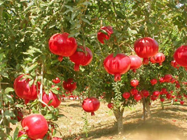 Pomegranate Plantation In Hassan District Rs 30 Lacs For Two Acres