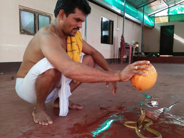 Tender coconut anointing to the living cobra in Udupi on Nagar Panchami