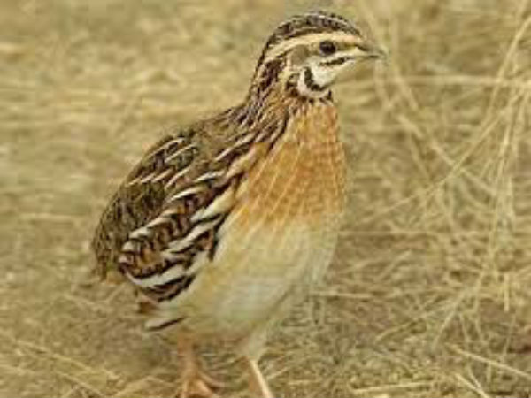 Quail Birds Now Enter Into Kitchens Of Dakshina Kannada