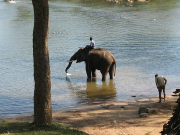 Special treatment and preparation for Dasara elephants