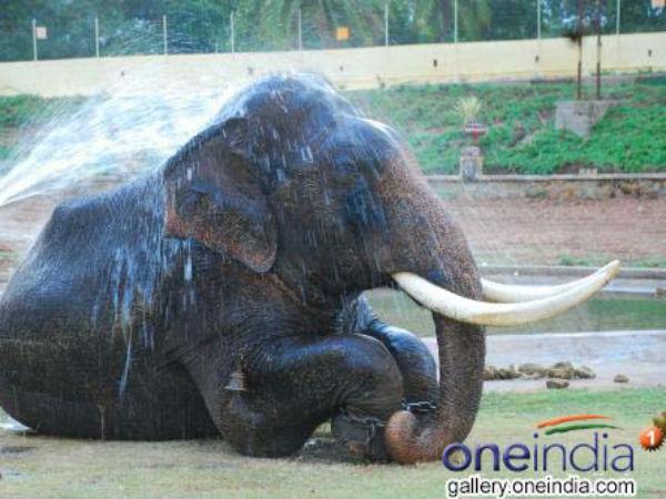 ಮಾವುತ - ಕಾವಾಡಿ ಕಾದಾಟದಲ್ಲಿ ಬಡವಾದ ಗಜಪಡೆ ಕ್ಯಾಪ್ಟನ್ ಅರ್ಜುನ