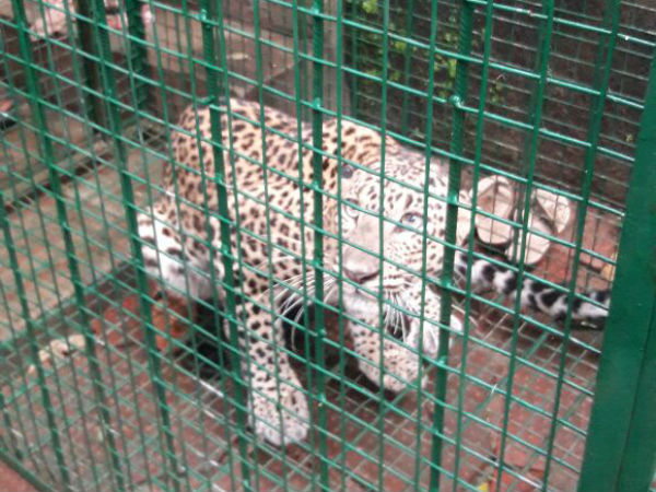 Leopard caught near Alevoor, Udupi