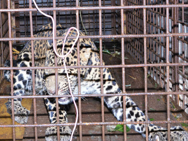 Leopard Captured In Moodbidri At Mangaluru
