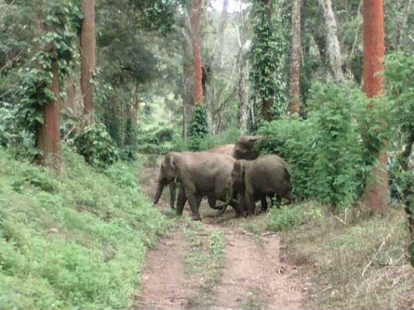 Wild Elephants In Madikeri Create Tension Among The People