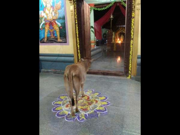 krishna janmasthami cow awaits to see krishna Gopala in mangaluru