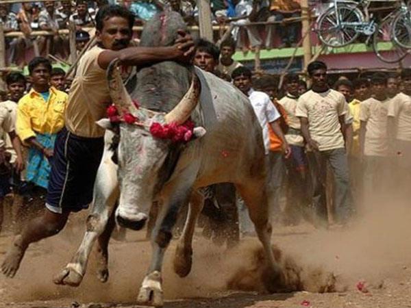 This Year Bull Taming Banned In Shivamogga Says Sp Abhinav Khare