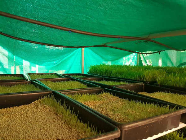 Hydroponic farming to help for animal husbandry sector