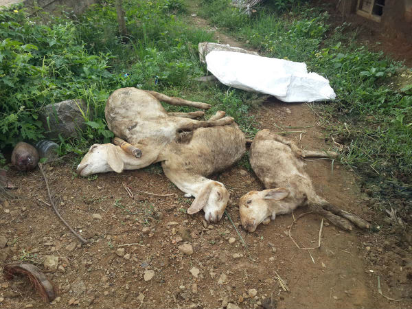 Many sheeps in Annur in Mandya die due to viral fever