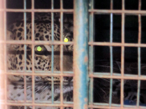 A leopard which was searching it's cubs had trapped in Kalalankere village Mandya district