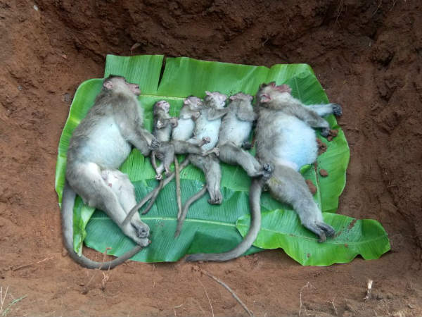 villagers did death rituals for monkeys