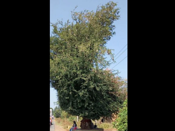 A tamarind Tree looks like Map of Karnataka in Kalghatgi Taluk