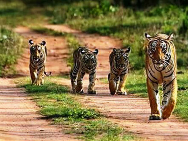 A 4 Tigers Photos Caught In Tourist Camera In Bandipur National Park Now Goes Viral