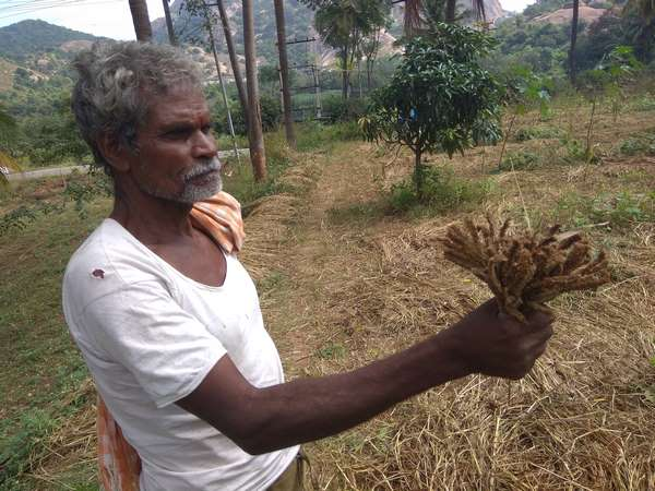 Ockhi cyclone : Rain hits ragi crop in Ramanagara