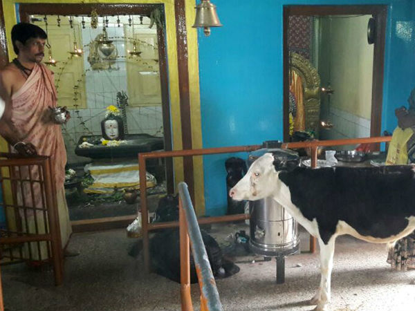Cow Accepts Prasadam At Rameshwara Temple