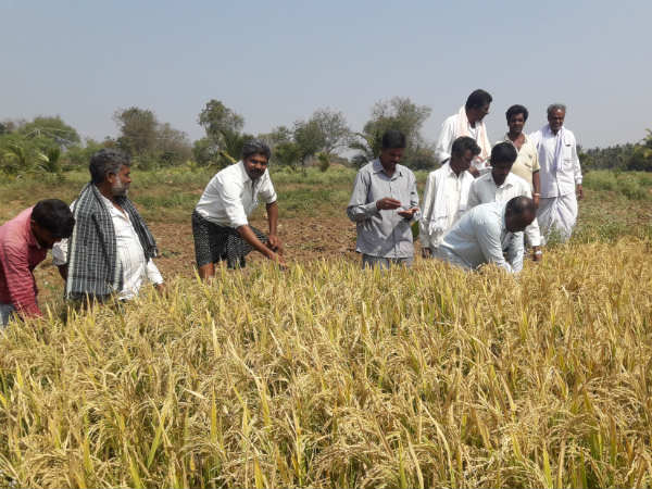 Success Story Mysuru Farmers Invent New Method To Get Profit From Paddy Field