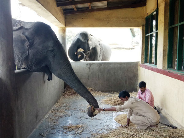 Government Restarts Feeding Pet Elephants Of Bandipura