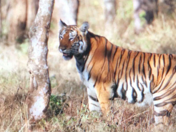 Several Tigers Sighted At Bandipur National Forest