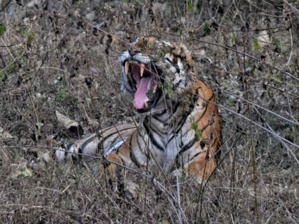 Tigers Spotted In 1st Day Of Tiger Census In Nagarahole Mysuru