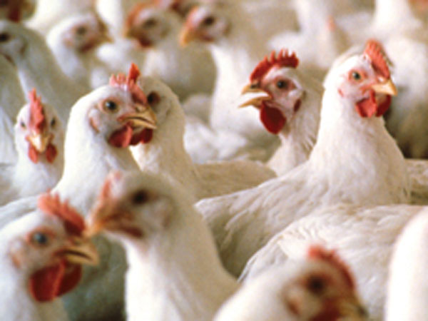Centre confirms outbreak of bird flu in Bengaluru