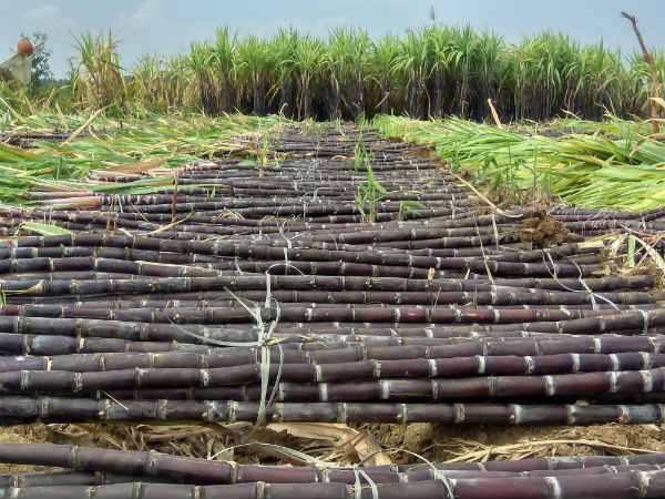 Sankranti Channapatna Famous For Black Sugar Cane Farming