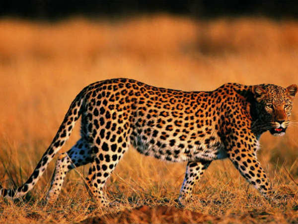 Leopard Enters House In Tumkur