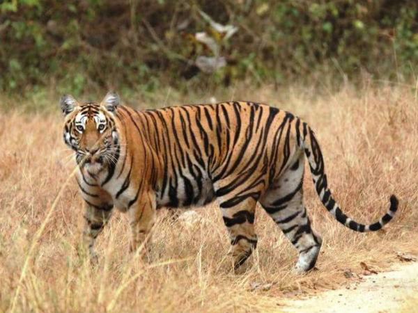 Tiger Census In Karnataka 20 Tiger Found In Bandipura