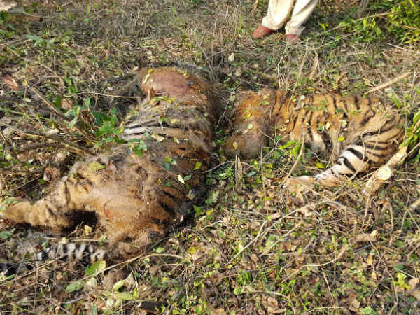 Two Tiger Elephant Dead Body Found In Bandipur