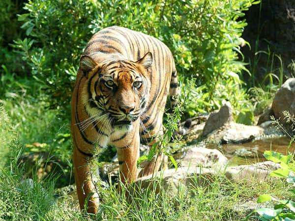 Tiger Census Continued In Nagarahole National Park
