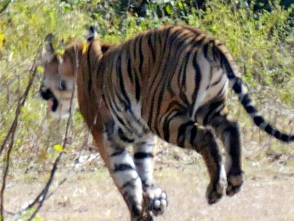 Forest officials finds tough to capture tiger