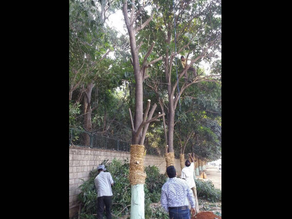 Around 185 trees will shift for Metro phase-2