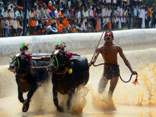 Supreme Court refuses interim stay on 'Kambala' race in Karnataka