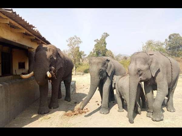 Elephant Safari To Start In Bandipur Chamarajanagar