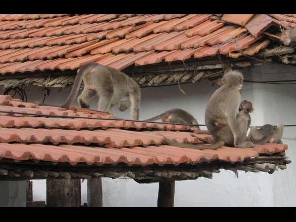 Monkey Trouble For Yalanduru People