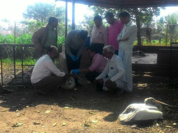 Mysterious death of pelican bird in Mandya creates tention among the people